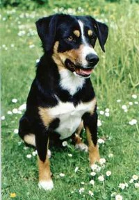 Austrian Pinscher (Austrian Shorthaired Pinscher)