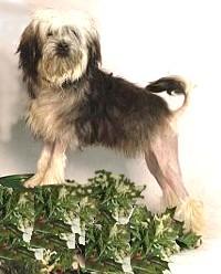 """Obrázek """"http://www.digitaldog.com/images/breeds/lowchen.jpg"""" nelze zobrazit, protože obsahuje chyby."""