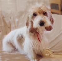 Pbgv Dog Rescue